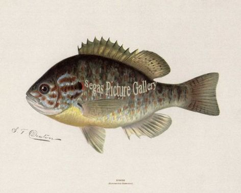 Fish Print of the Sunfish by Sherman F Denton (1902)